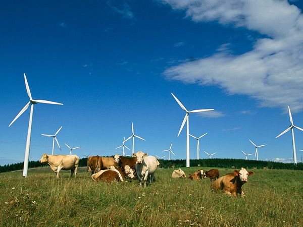 Cows under Wind Turbines