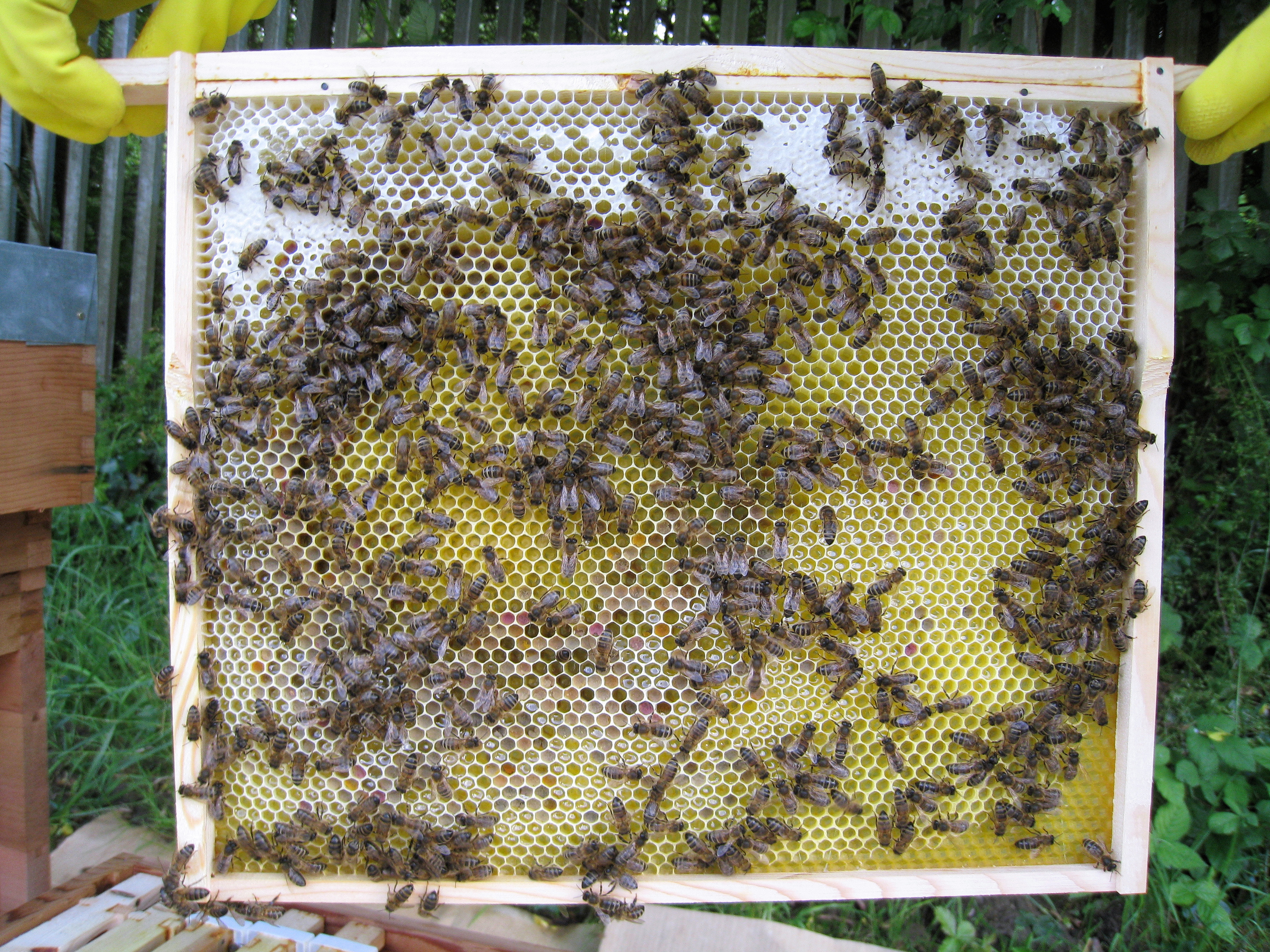 Bees On A 14x12 National Frame
