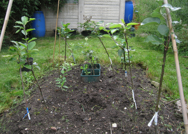 Grafted apple trees